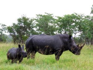 Rhino-and-calf
