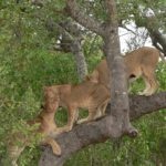 Lioness playing in a tree