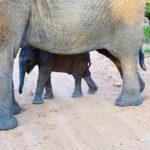 Elephant calve hidden