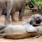 Elephant calves rolling in the dirt