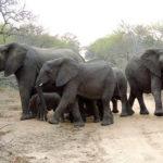 Elephant herd protecting calves