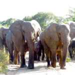 Elephant herd walking towards game drive vehicle