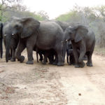 Newborn elephants protected by herd