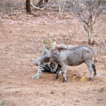 Leopard attacks warthog