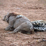 Leopard tries to hold down the warthog