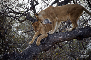 Lioness and cub struggles to get off tree
