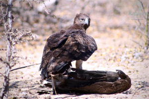 Martial eagle standing over a vulture