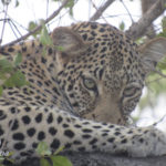 Kapama leopard in tree