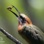 White fronted bee eater bird