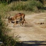 Impala jackal