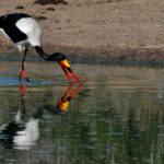 Saddle-billed stork - Kapama