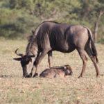Kapama blue wildebeest and calf