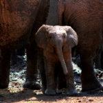 kapama elephants in mud 4