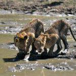 Kapama Lion cubs