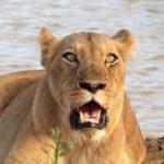 Kapama lion