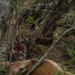 Leopard kill Kapama 1