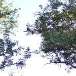 Vervet monkey 4 Kapama
