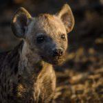 kapama hyena cub den