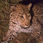 kapama Leopard
