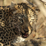 Kapama leopard eating
