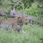 Kapama Leopard daytime