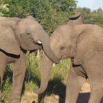 Kapama Elephant