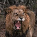 Kapama one-eyed male lion