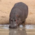 Kapama Hippo Male