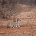Kapama Black Backed Jackal