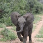 Kapama Baby elephant