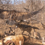 Kapama Jackal vs Vulture