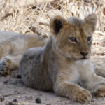 Kapama lion cub