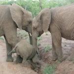 Kapama Game Reserve Elephant
