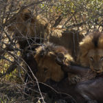 Kapama Male Lions kill buffalo