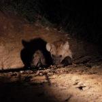 Kapama Hyena