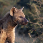 Kapama Reserve Hyena