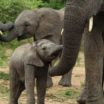 Kapama baby elephants