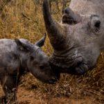 Kapama Rhino