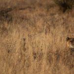 Kapama Cheetah