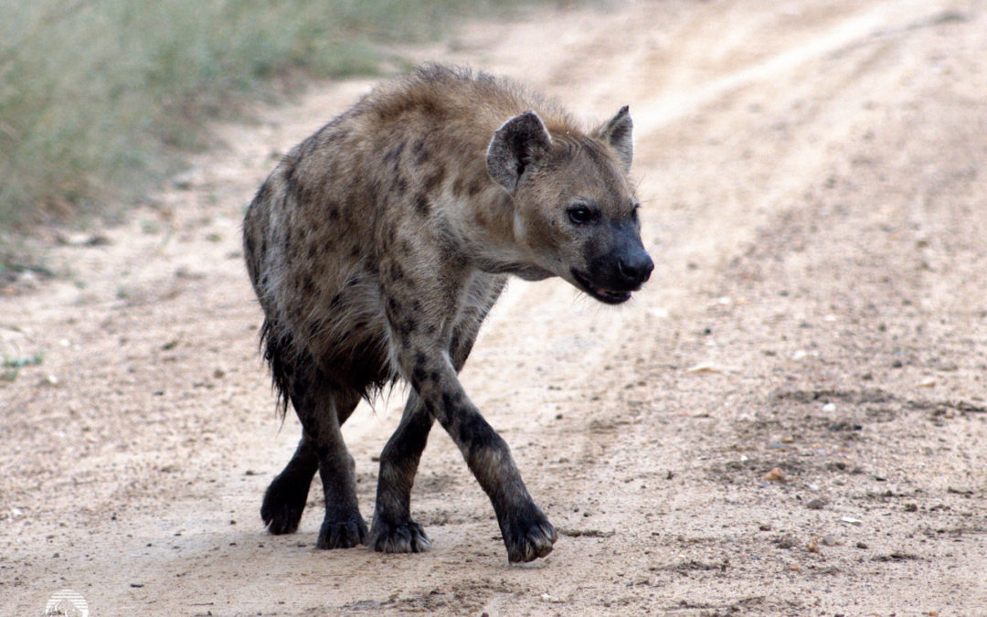 Hyenas in the Lowveld