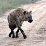 Kapama spotted hyenas
