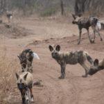 Kapama Wild Dogs