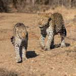 Kapama leopards mating