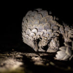 Kapama world pangolin day