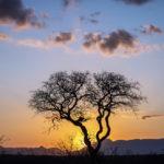 Kapama trees