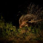 Kapama porcupine