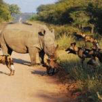 Kapama wild dogs rhino
