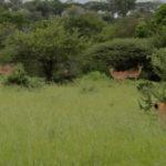 Kapama lions on a hunt