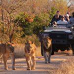 Kapama winter lion sighting