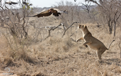 Kapama Private Game Reserve announces next round of  winners in Rangers Wildlife Photo Competition